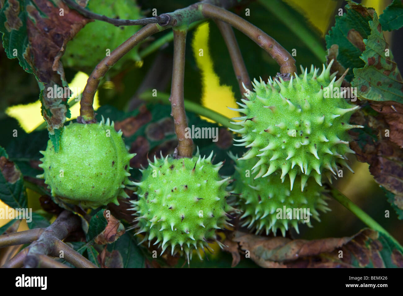 Common Horse Chestnut Unripe Seeds Shells Husks Conkers Stock Photo Royalty Free Image