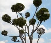 ornamental topiary trees