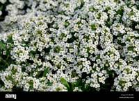 Lobularia maritima Carpet of Snow syn Alyssum cultivar ...