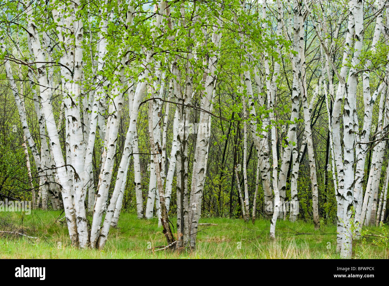 birch trees with emerging