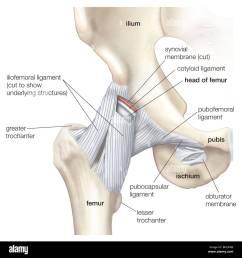 hip and pelvis stock image [ 1300 x 1381 Pixel ]