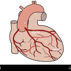 Coronary Arteries Diagram Branches 1999 Ford F150 Ignition Switch Wiring Of The Human Heart Showing