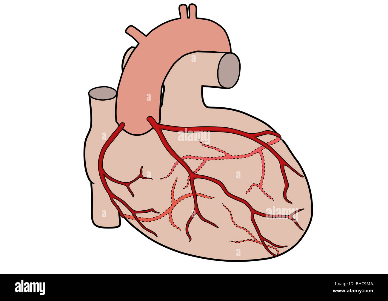coronary arteries diagram branches what is a tree in math of the human heart showing