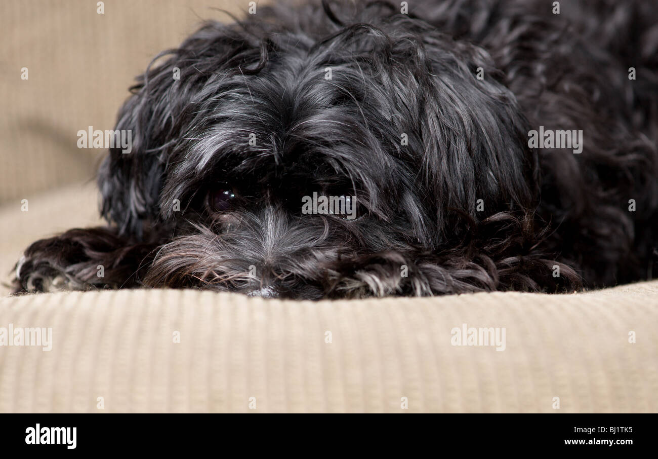 black maltese yorkie mix dog lying on a couch Stock Photo