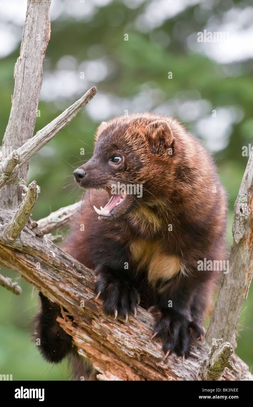 Fisher Cat Teeth : fisher, teeth, Fisher, Resolution, Stock, Photography, Images, Alamy