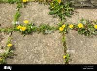 Dandelions and other weeds growing between paving stones