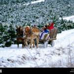 Horse Drawn Wagon Carrying Holiday Customers To Pick Out A Christmas Stock Photo Alamy