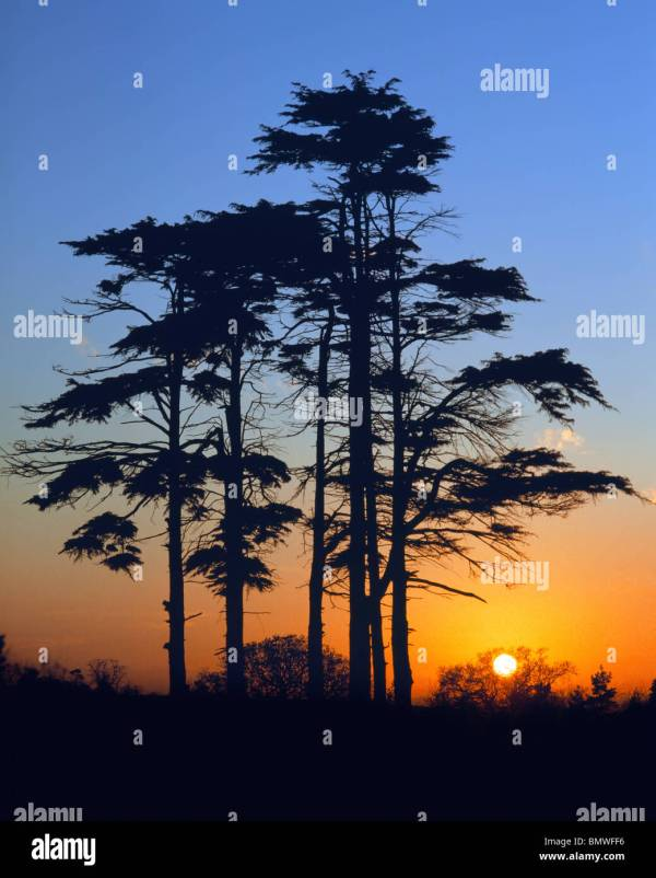 Pine Tree Silhouette And Sunset Stock 30064474 - Alamy