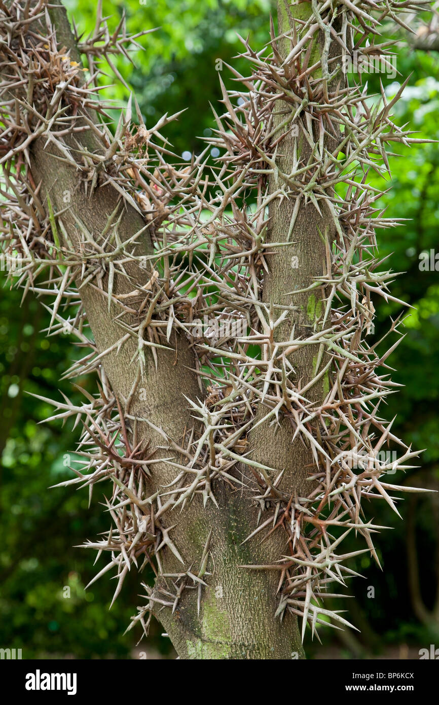 Black Locust Honey Locust Tree