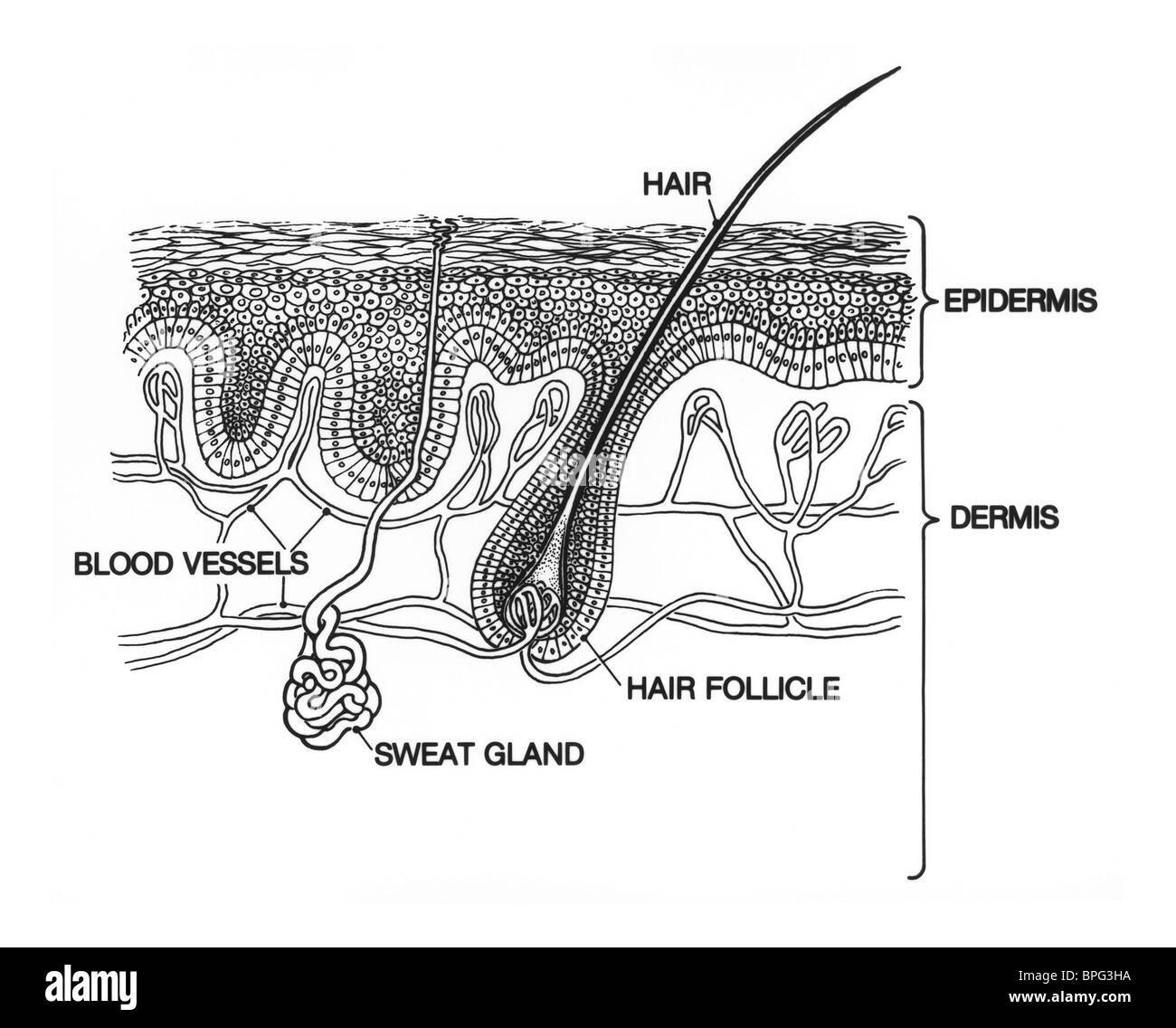 hight resolution of illustration of skin structure stock image