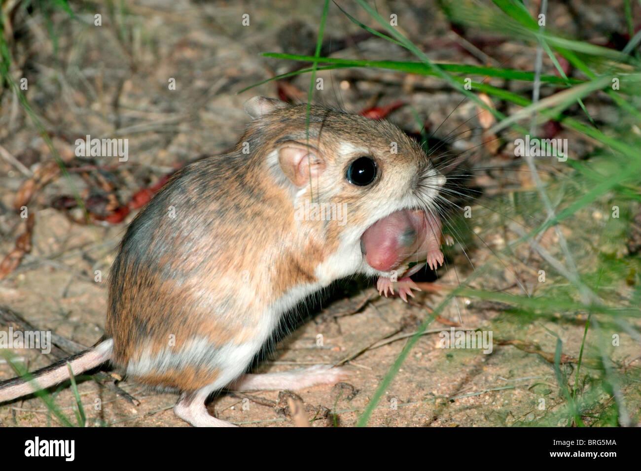 merriam kangaroo rat carrying