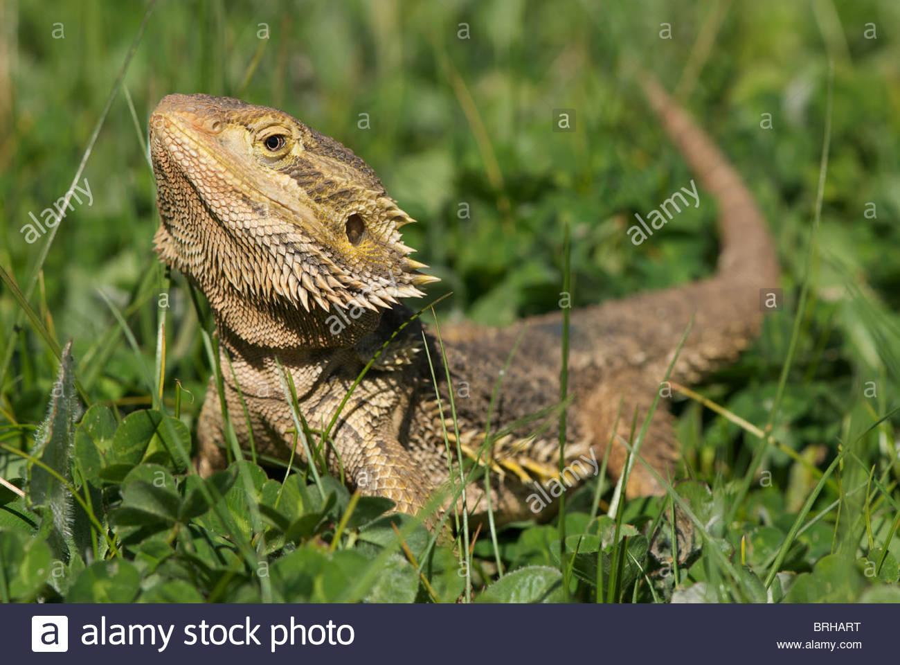 inland bearded dragon sitting