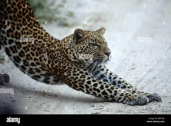 Leopard Legs Stock & - Alamy