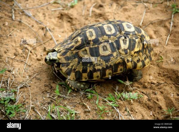 Tortoise Leopard Geochelone Pardalis Year Of Clean Water