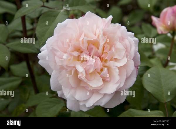 Rosaceae Floral Diagram