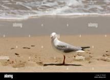 Australian Seagull Anse Vata Beach Station