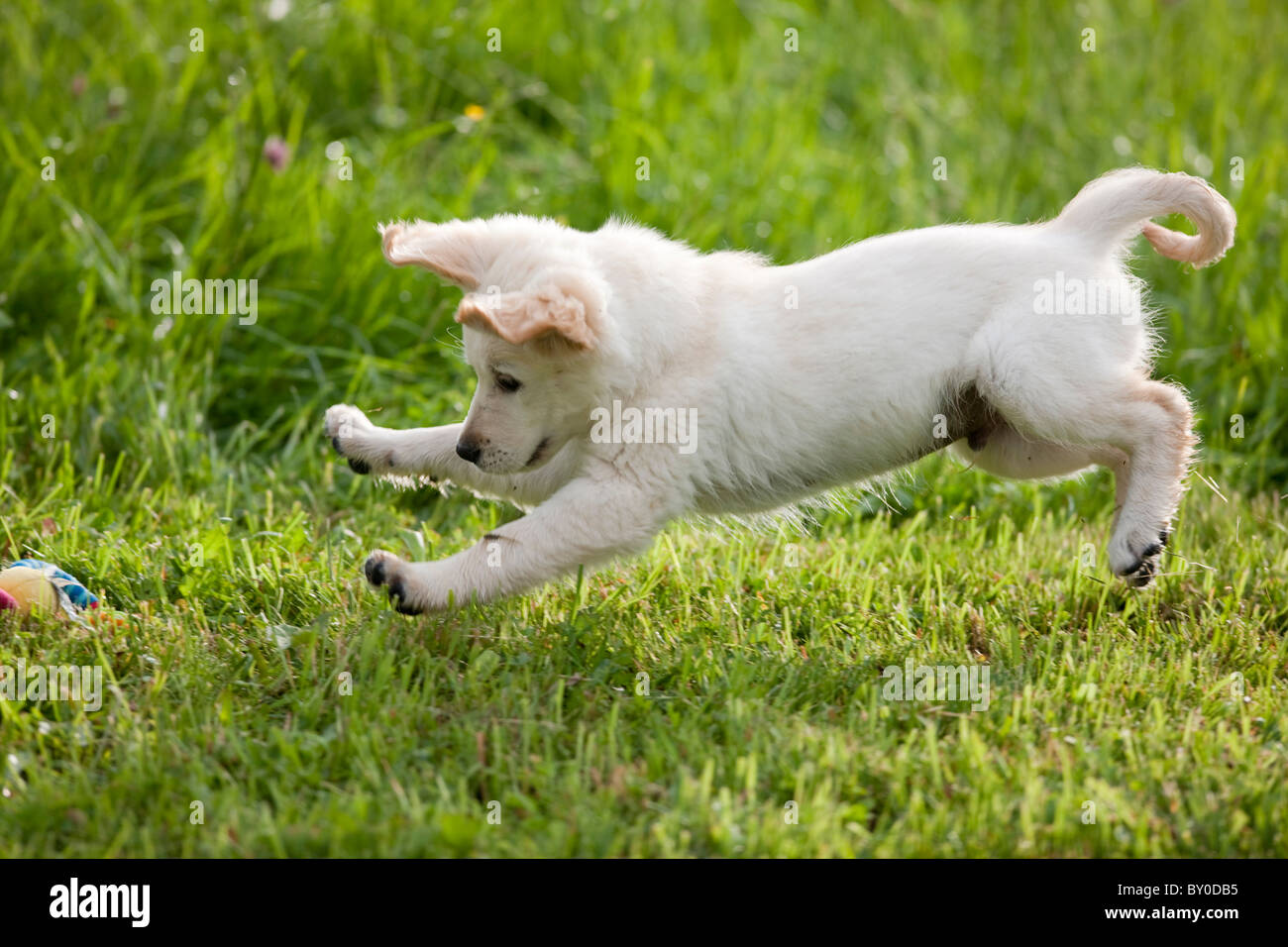 how to stop your dog from jumping up on the sofa 10 spring street ashton microfiber bed sand golden retriever puppy stock photo