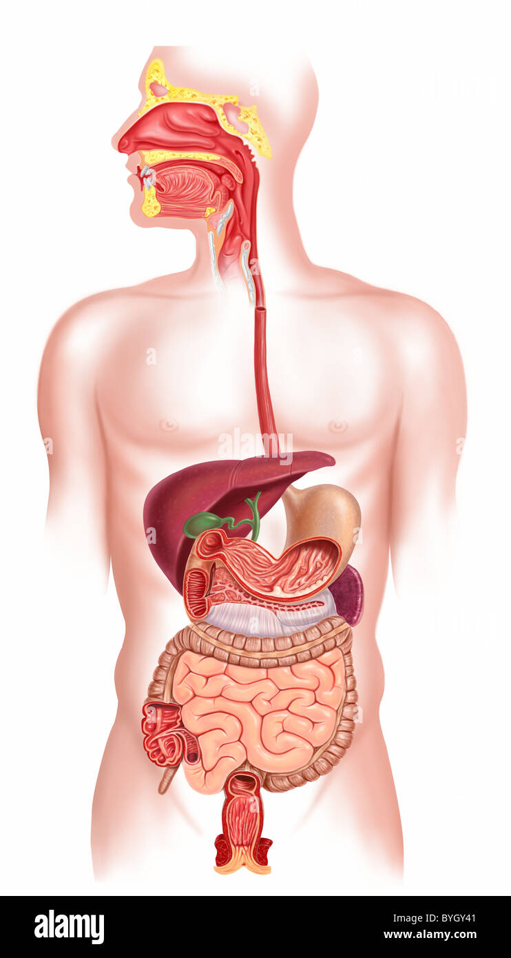 hight resolution of human digestive system cross section stock image