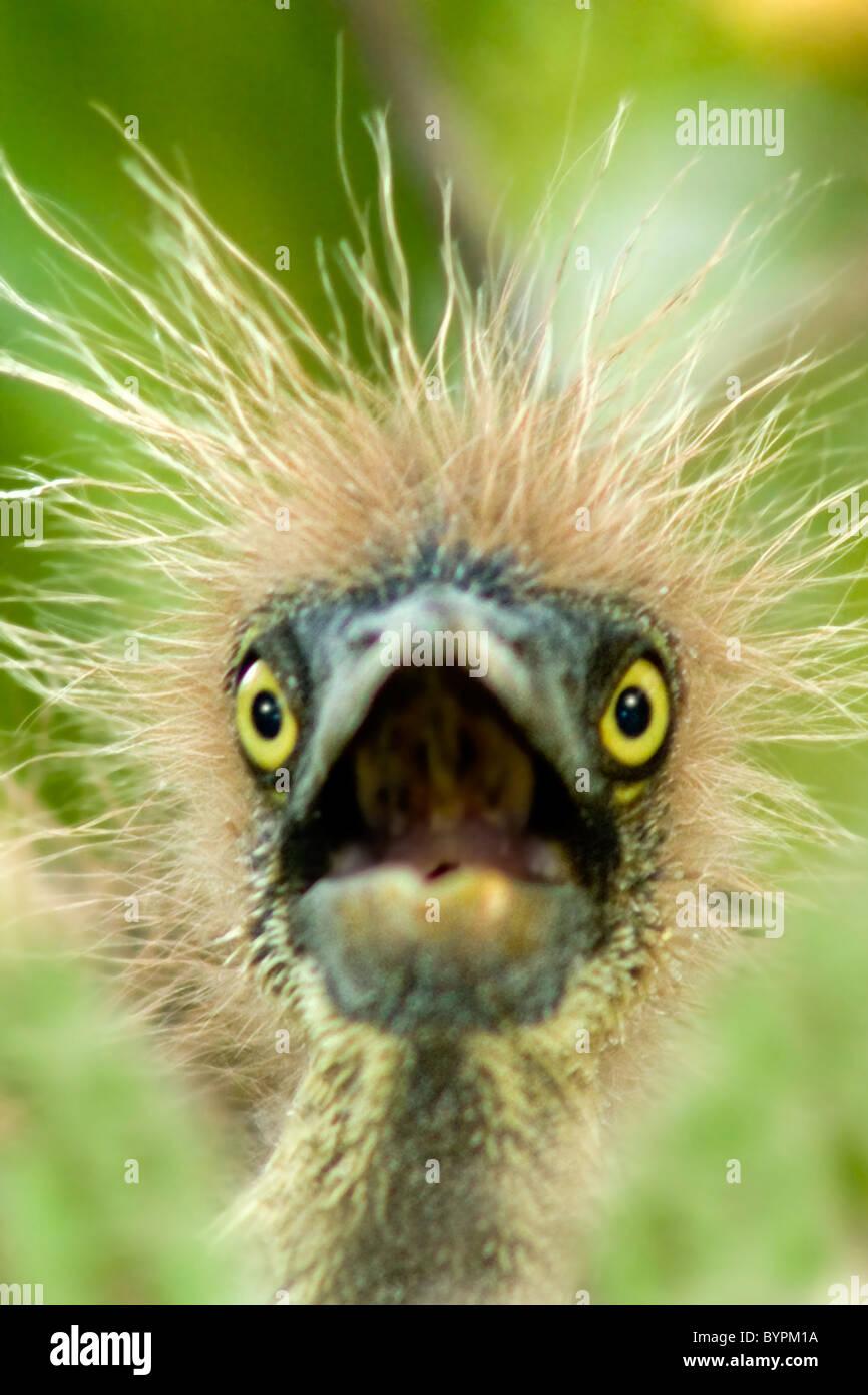 Baby Bird Hair : Tri-colored, Heron, Calls, Nest., Looks, Stock, Photo, Alamy