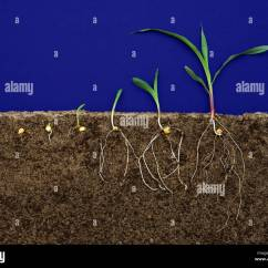 Corn Plant Diagram Bazooka Bta850fh Wiring Stages Pictures To Pin On Pinterest Pinsdaddy