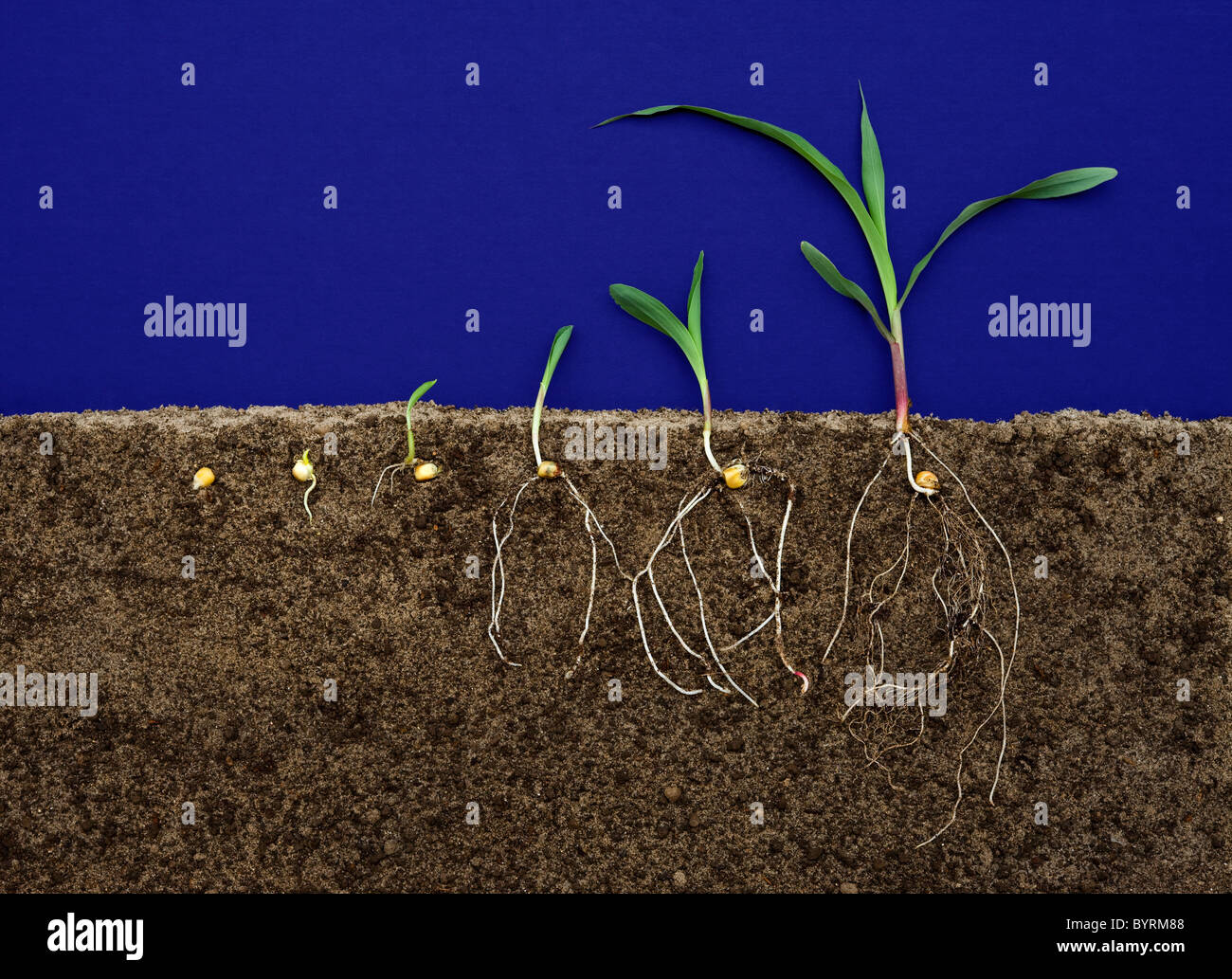 corn plant life cycle diagram 8n ford wiring different stages of pictures to pin on pinterest