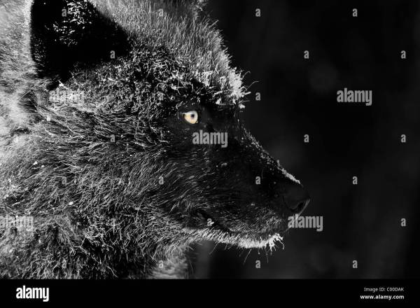 Black Wolf Face Profile With Frost Covered Fur