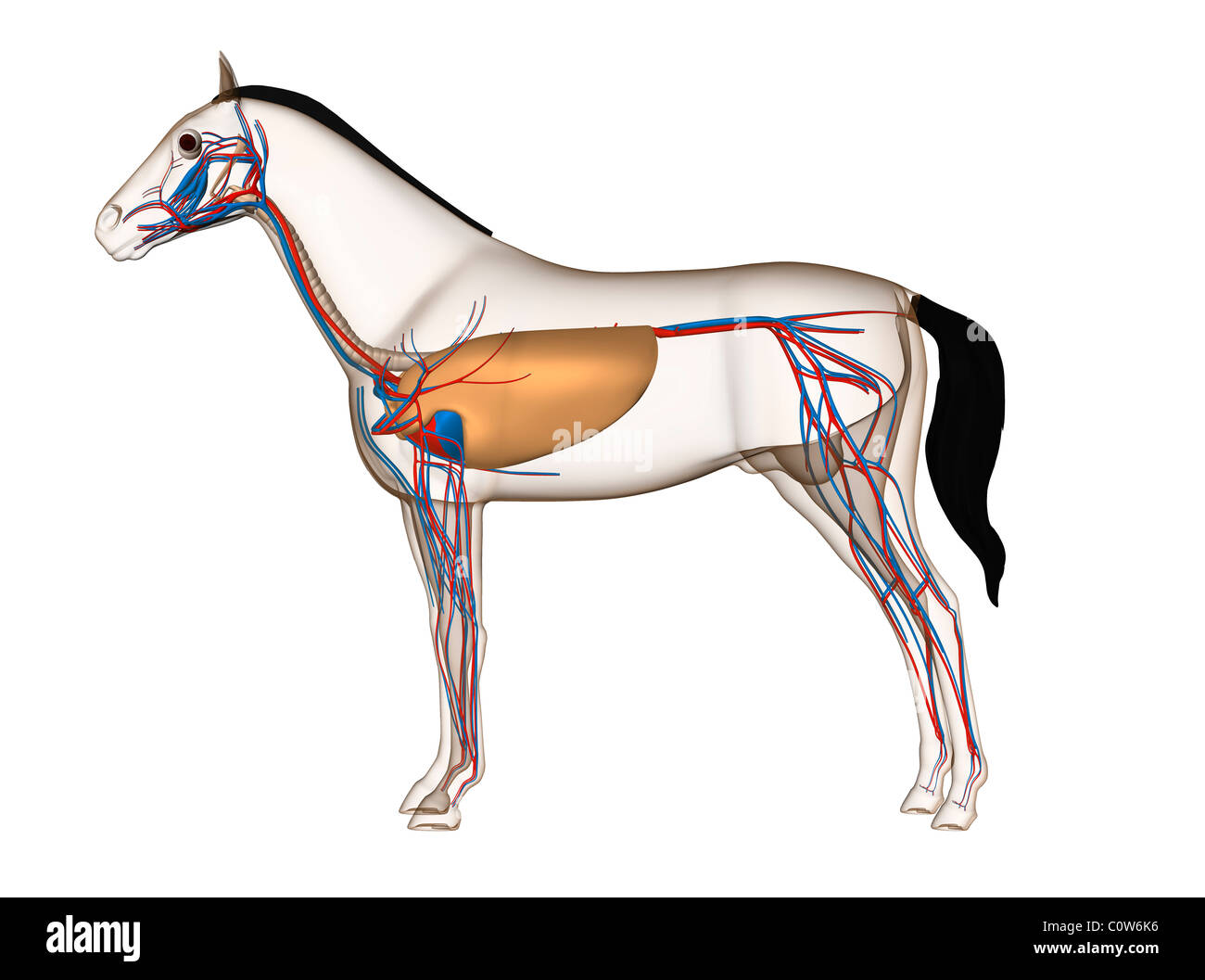 horse respiratory system diagram wiring for genie garage door opener trachea pictures to pin on pinterest thepinsta