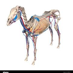 Horse Respiratory System Diagram Mgb Wiring Lungs Related Keywords Long Tail