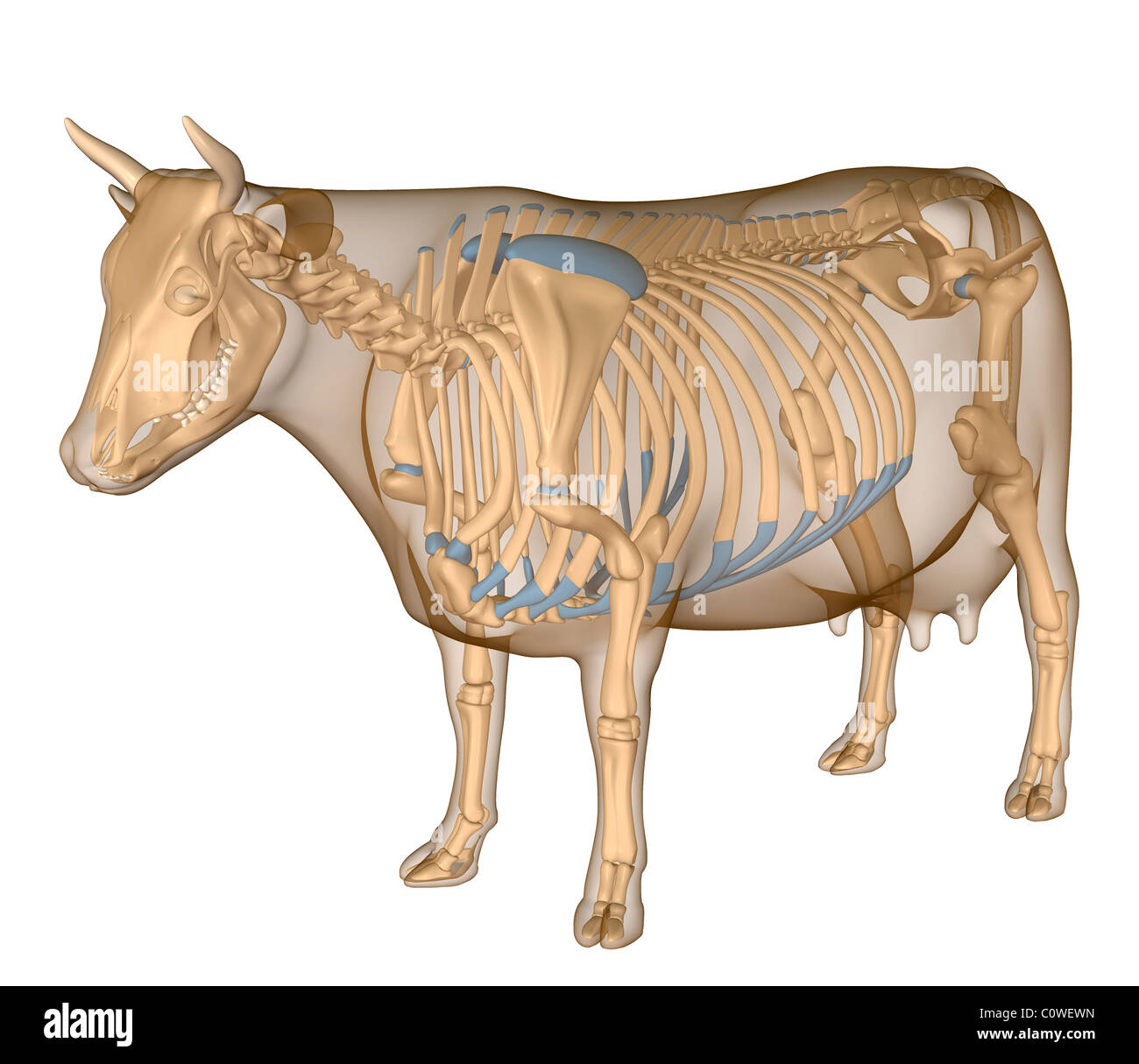 hight resolution of anatomy of the cow skeleton stock image