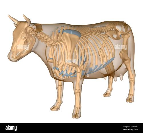 small resolution of anatomy of the cow skeleton stock image