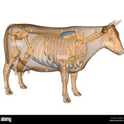 Cow Skeleton Bones Diagram Electrical Wiring Light Switch Anatomy Of The Stock Photo 34981278 Alamy