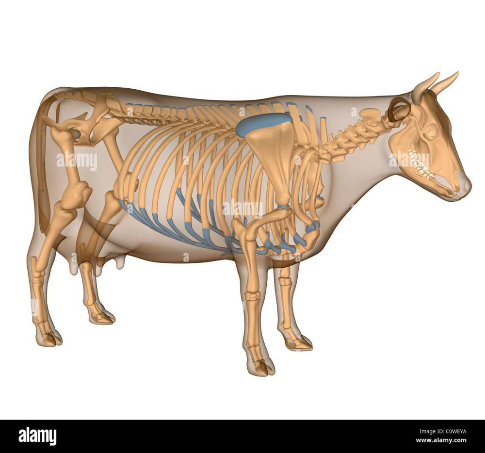 medium resolution of anatomy of the cow skeleton stock image