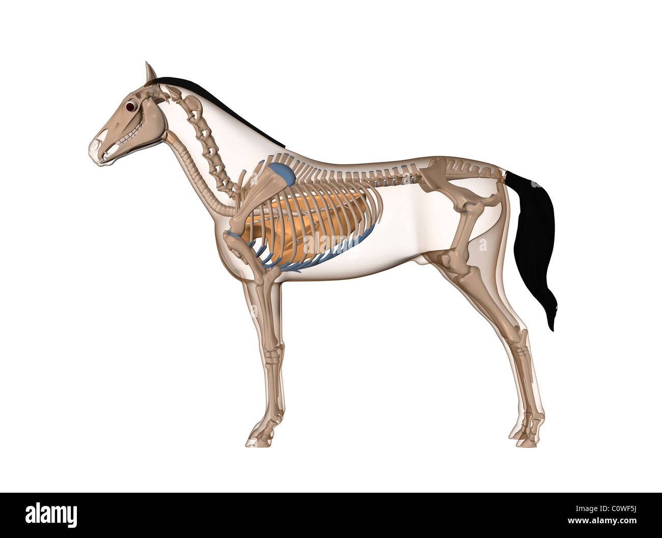 horse respiratory system diagram 7 blade plug wiring lungs related keywords long tail