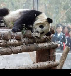 olympic pandas to return home the eight giant pandas chosen as mascots for the 2008 beijing olympics are preparing to return to [ 1300 x 1009 Pixel ]