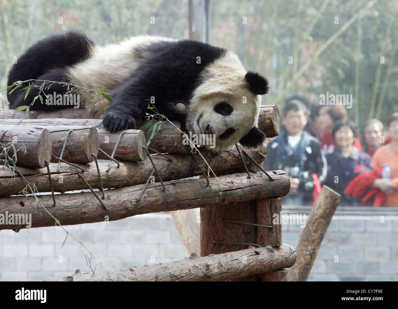 hight resolution of olympic pandas to return home the eight giant pandas chosen as mascots for the 2008 beijing olympics are preparing to return to