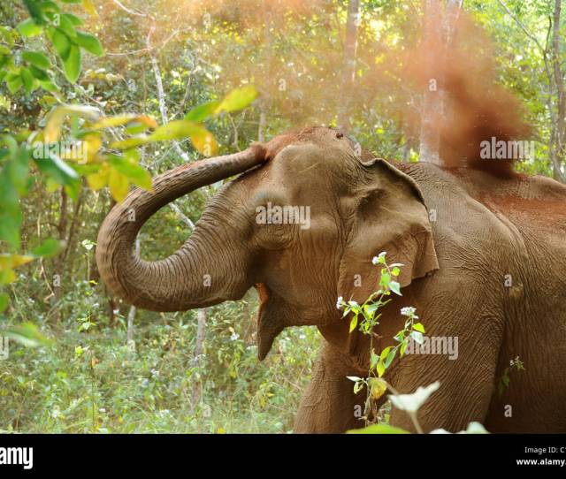 Elephant At A Sanctuary For Sick Injured And Abused Elephants Who Have Been Overworked And Badly Treated Cambodia