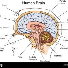 Internal Brain Diagram Windlass Wiring Structure Of
