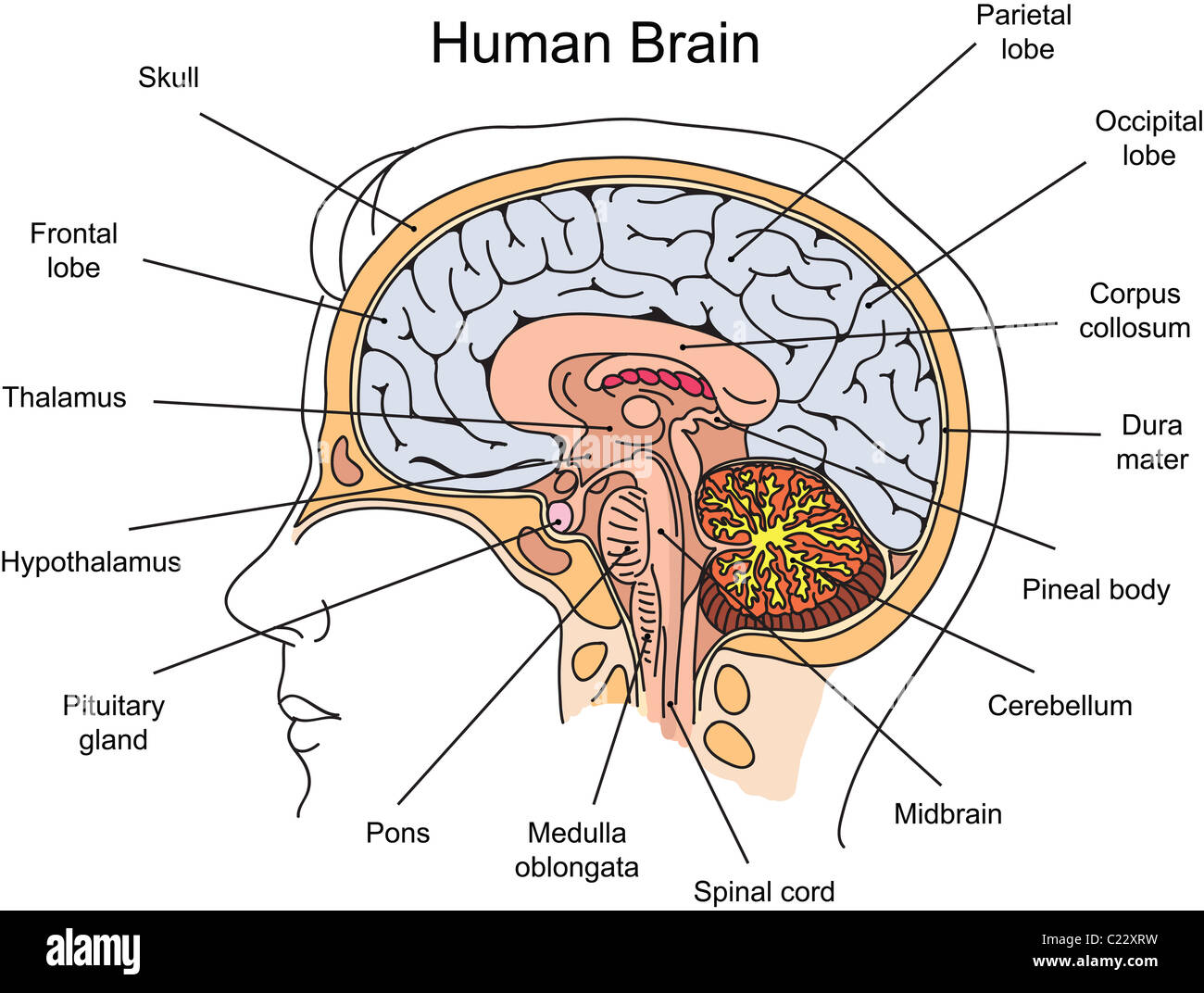 basic diagram human brain of mitosis an animal cell anatomy