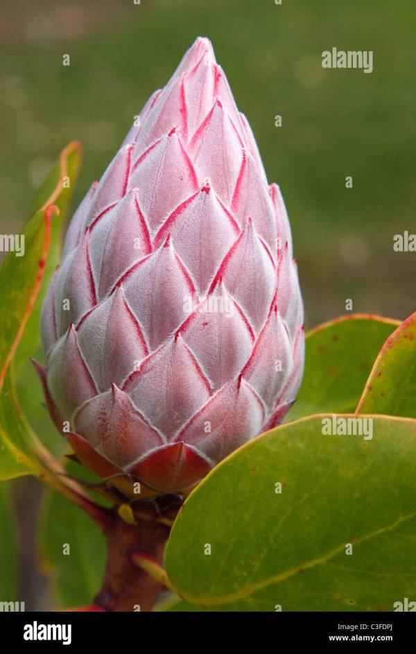 Large Flower Bud Of King Protea Cynaroides Growing