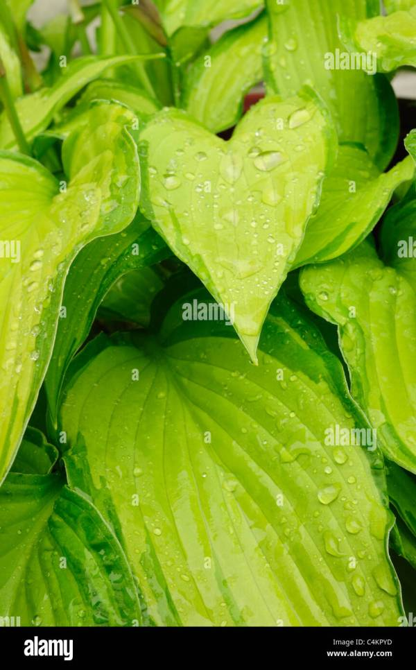 Hosta Leaf Pattern Year Of Clean Water