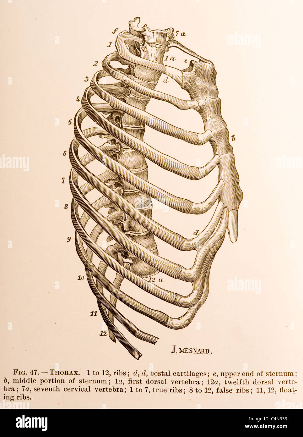 medium resolution of side view of rib cage spine vertabra and sternum
