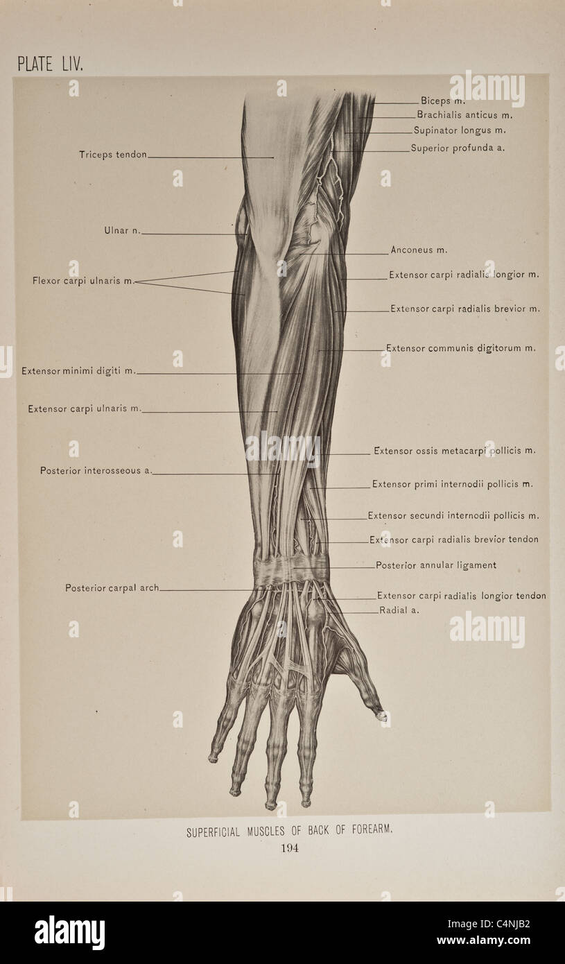 medium resolution of illustration of human arm copyright 1899