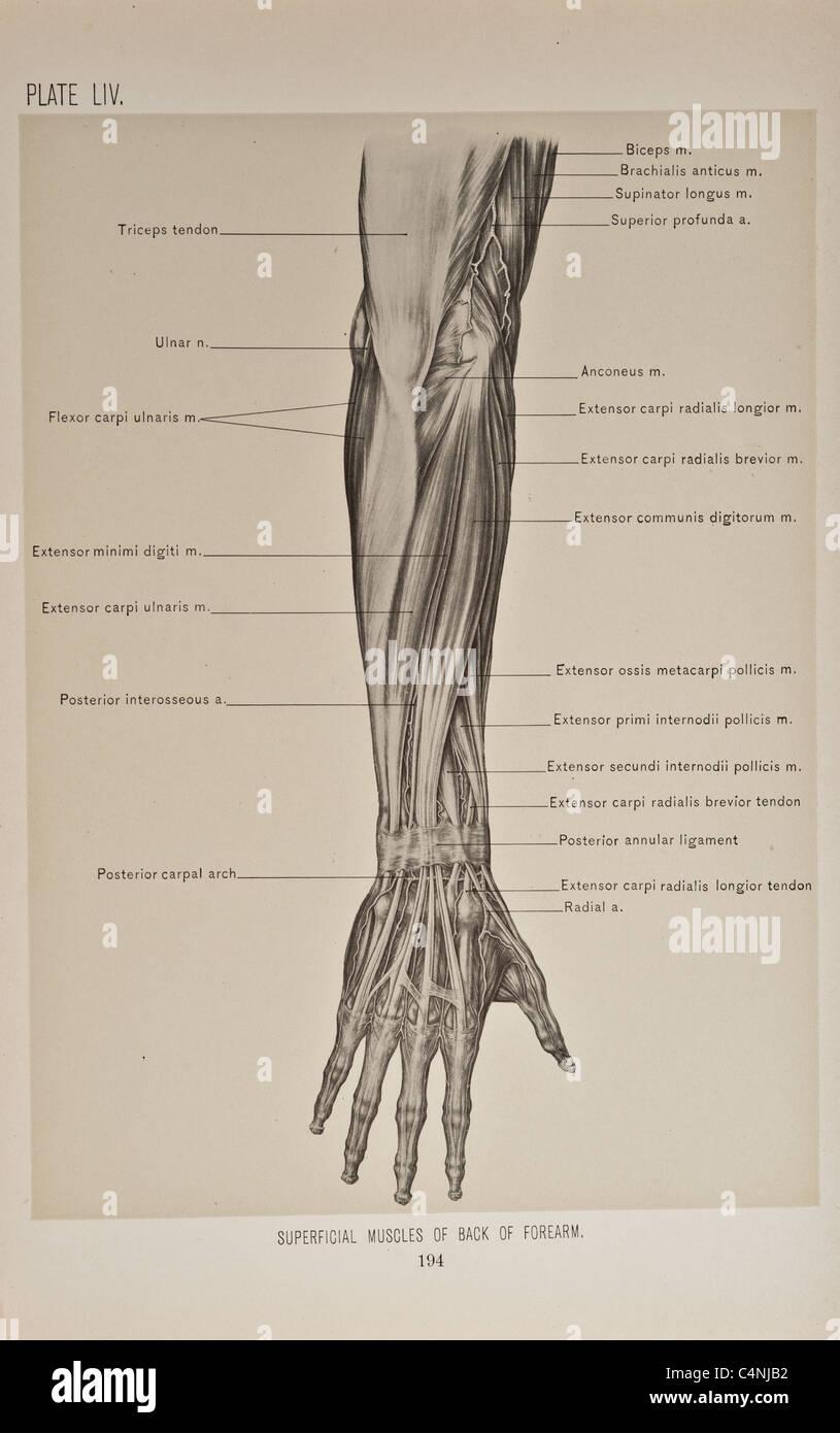 hight resolution of illustration of human arm copyright 1899