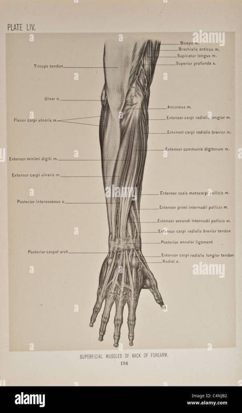 small resolution of illustration of human arm copyright 1899