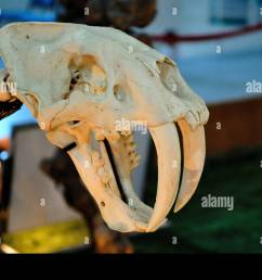 skull of a saber toothed tiger beijing china stock image [ 1300 x 953 Pixel ]