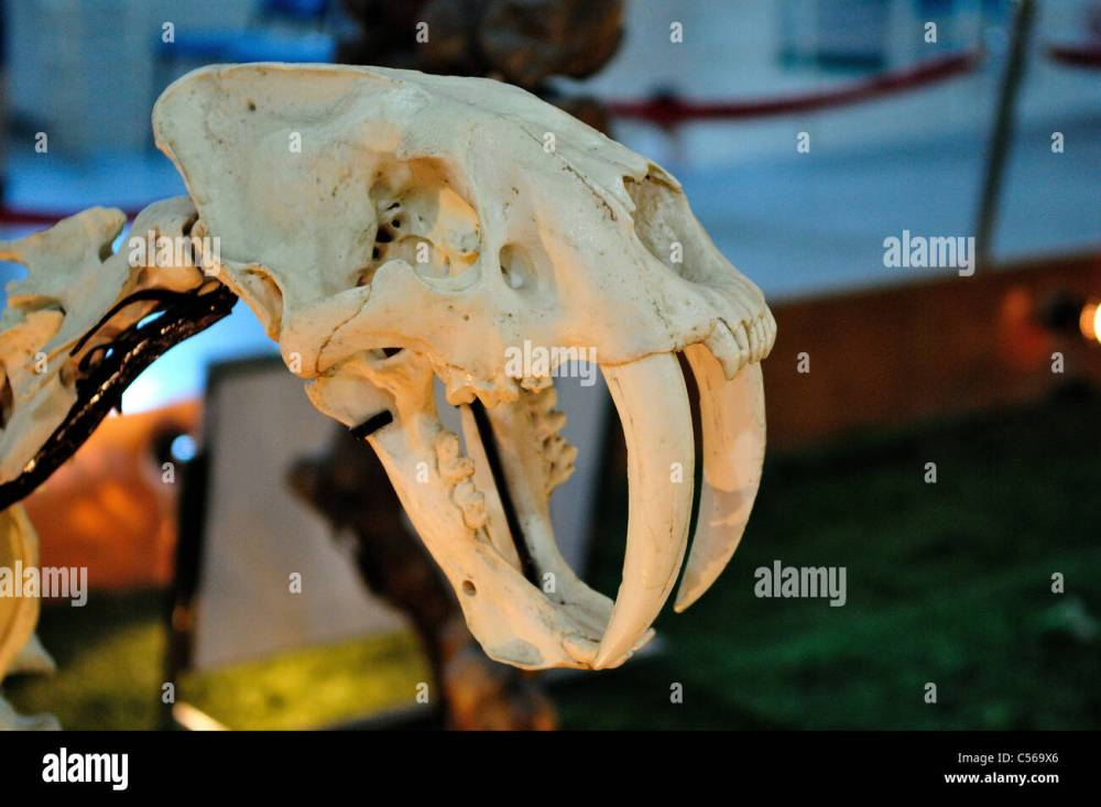 medium resolution of skull of a saber toothed tiger beijing china stock image