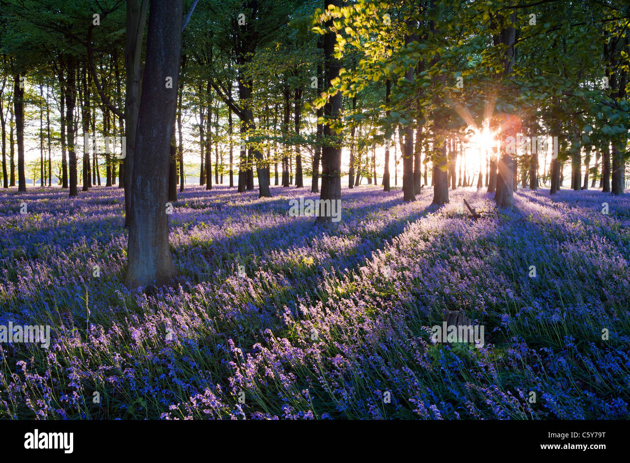 Free Wallpaper Fall Colours Bluebells With Sun Rays Coming Through Trees At Sunset In