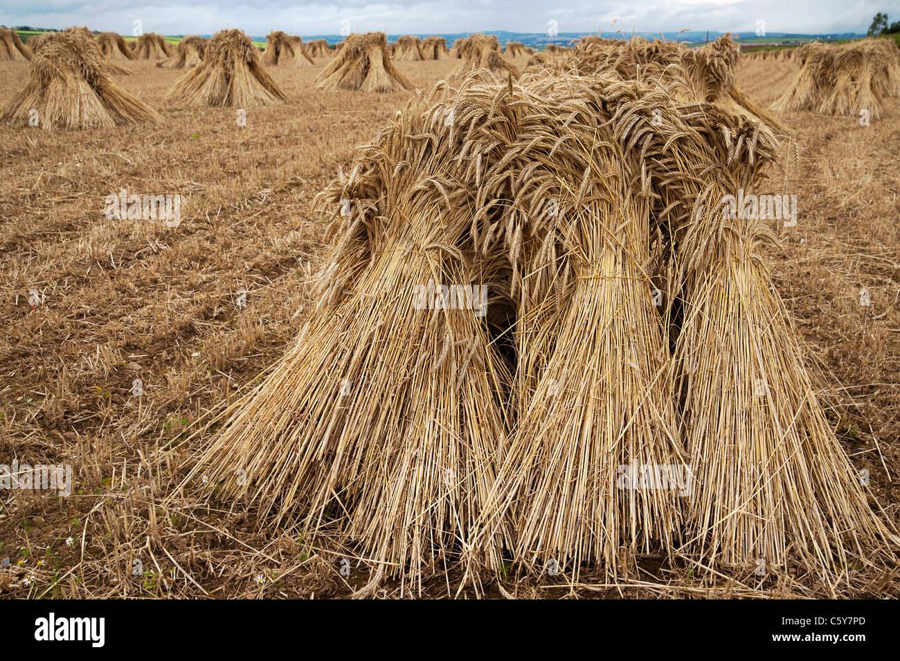 wheat sheaf stock photos