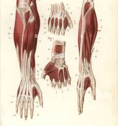 muscles and tendons of the forearm and hand  [ 774 x 1390 Pixel ]
