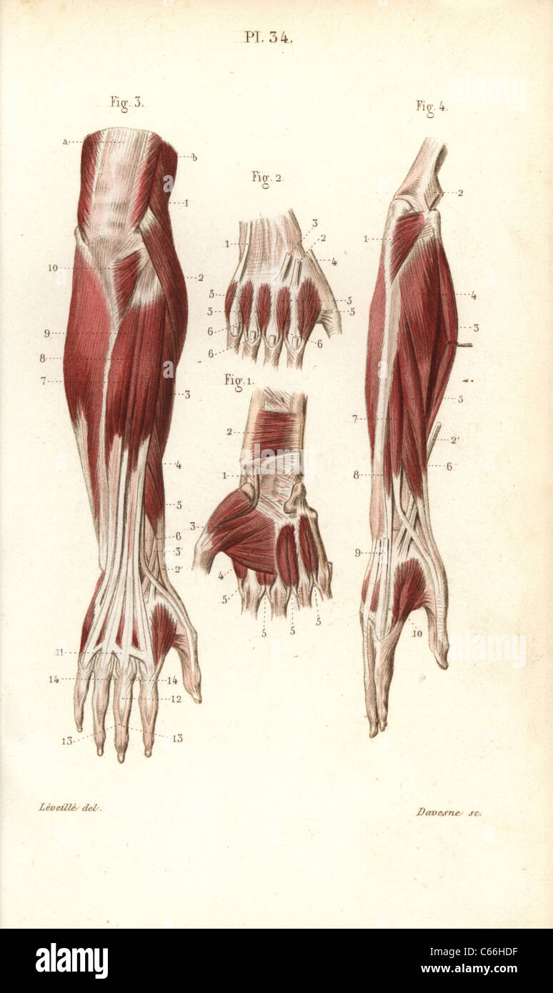 hight resolution of muscles and tendons of the forearm and hand